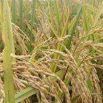 Gubernur: Petani Lampung Berjaya, Surplus Beras Hingga 266.110 Ton