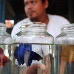 KKP Dukung Terobosan Baru Kontes Ikan Cupang Virtual