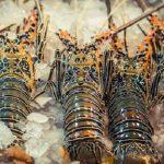 Era Baru Pengelolaan Sumber Daya Lobster di Indonesia