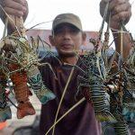 KKP Sediakan Layanan WA Gateway Untuk Pendaftaran Cepat Calon Pembudidaya Lobster