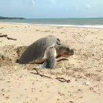 Langka, Penyu Lekang Bertelur Siang Hari di Pantai Sosadale Rote Ndao