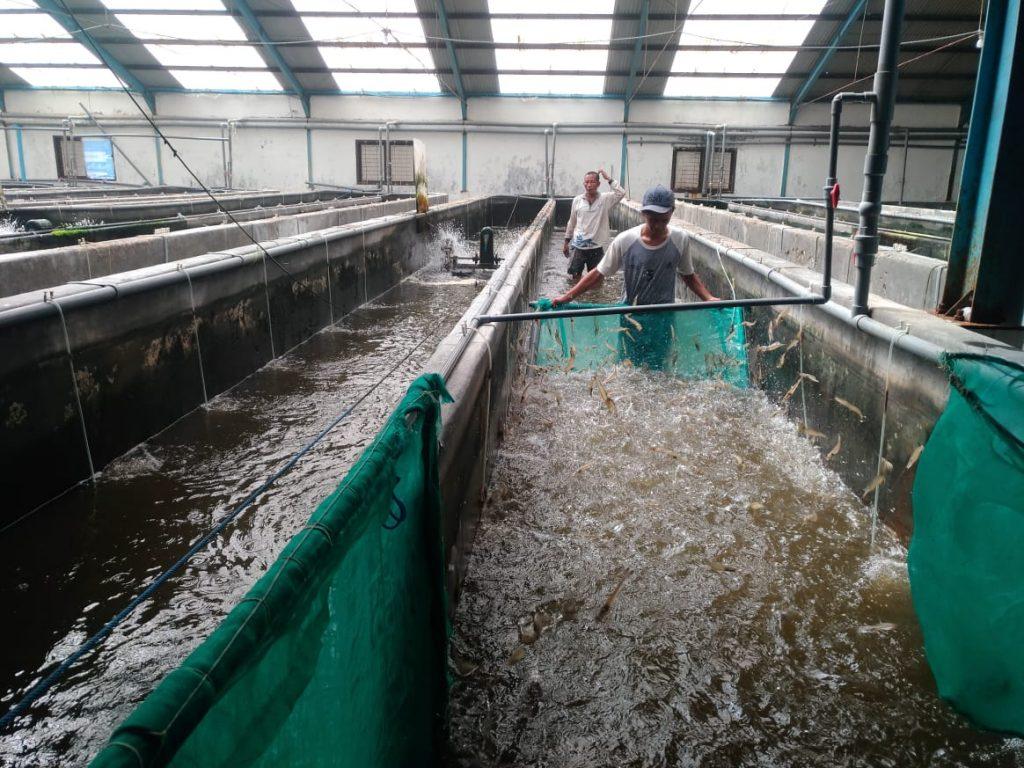Pastikan Benih Ikan Bermutu Beredar di Masyarakat, KKP Gelontorkan Bantuan Calon Induk Ikan Unggul 1
