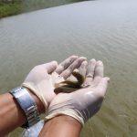KKP Lepasliarkan Ikan Endemik di Daerah Paling Timur Indonesia
