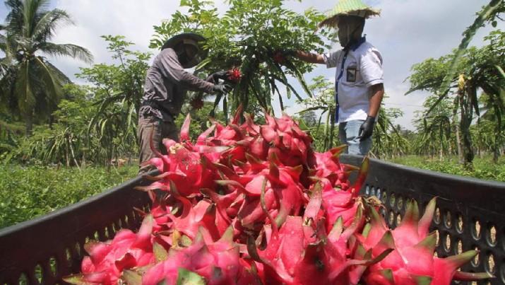 Kembali Panen Raya, Perta Arun Gas Dorong Petani Binaannya Kembangkan Kebun Agrowisata 1