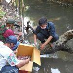 KKP Lepasliarkan Kepiting Bakau Hasil Sitaan di Pantai Cemara Banyuwangi