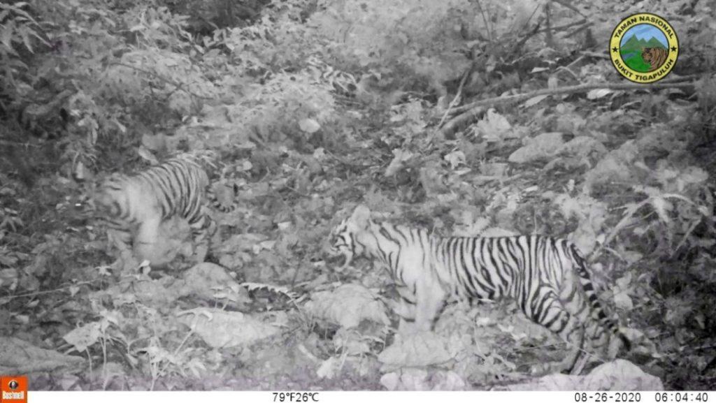 Tiga Ekor Anak Harimau Tertangkap Kamera Trap Di Taman Nasional Bukit Tiga Puluh All Release Indonesia